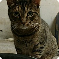 Domestic Shorthair Cat for adoption in Saginaw, Michigan - Kit Kat