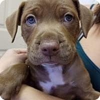Adopt A Pet :: Balto - New Smyrna Beach, FL