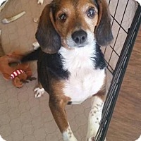 Adopt A Pet :: Callie in RI - Providence, RI
