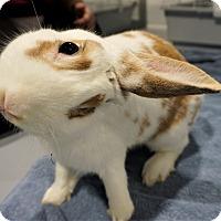 Adopt A Pet :: Popeye - Seattle, WA