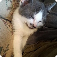 Adopt A Pet :: Renoir - Naugatuck, CT