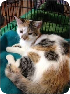 Domestic Shorthair Kitten for adoption in Raritan, New Jersey - Tripod
