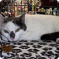 Adopt A Pet :: Gandolf - New Port Richey, FL