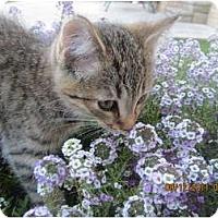 Adopt A Pet :: Honey - Sterling Hgts, MI