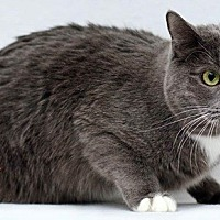 Domestic Shorthair Cat for adoption in Santa Fe, New Mexico - Serge