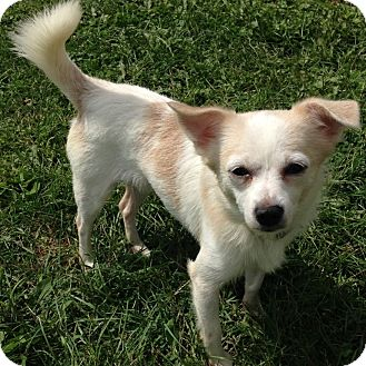 Chihuahua Mix Dog for adoption in Crystal Lake, Illinois - Minute
