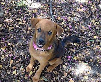 Golden Retriever Mix Puppy for adoption in Longview, Texas - Celeste