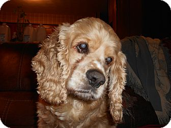 Cocker Spaniel Dog for adoption in Kannapolis, North Carolina - Flint/Cooper -Donations Needed