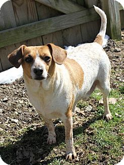 Chihuahua/Dachshund Mix Dog for adoption in Columbia Station, Ohio - Chong - Foster or Adopt
