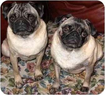 Pug Dog for adoption in Edmeston, New York - Bocephius (Bo)-NY