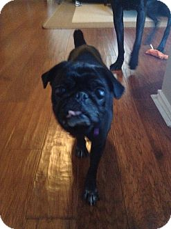 Pug Dog for adoption in Austin, Texas - Angie