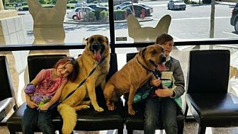 Shepherd (Unknown Type)/Pit Bull Terrier Mix Dog for adoption in La Honda, California - Shepie & T.  *