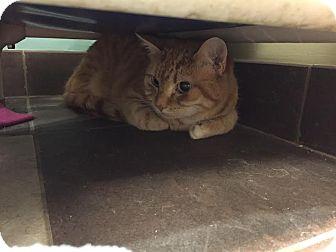 Domestic Shorthair Cat for adoption in Columbus, Georgia - Callie 1007