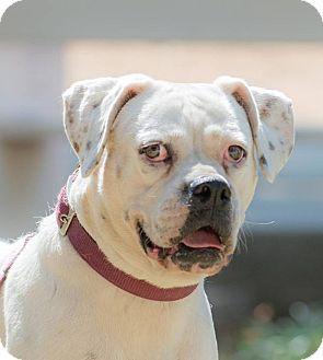 Boxer Mix Dog for adoption in Santa Monica, California - FRIDA