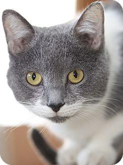 Domestic Shorthair Cat for adoption in LaGrange, Kentucky - Gabby