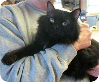 Domestic Longhair Cat for adoption in Plainville, Massachusetts - BooBoo Bear