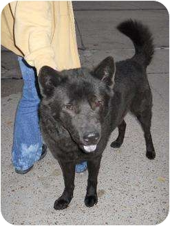 Chow Chow/Shepherd (Unknown Type) Mix Dog for adoption in New Orleans, Louisiana - Dexter
