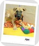 Labrador Retriever/Shepherd (Unknown Type) Mix Puppy for adoption in Manchester, Connecticut - Ajax in Ct