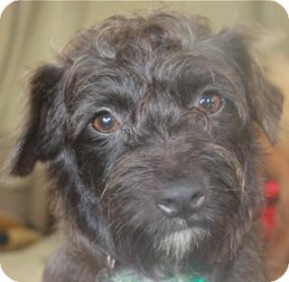Schnauzer (Miniature)/Fox Terrier (Wirehaired) Mix Dog for adoption in Norwalk, Connecticut - Carmine - adoption pending