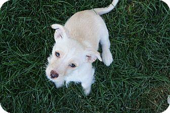 Westie, West Highland White Terrier Mix Puppy for adoption in Ft. Collins, Colorado - Gilligan