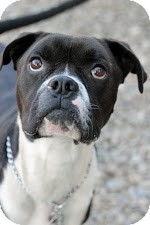 Boxer Dog for adoption in Tinton Falls, New Jersey - Maxium
