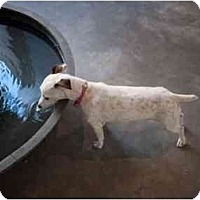 Adopt A Pet :: Ginger in Houston - Houston, TX