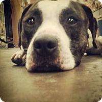 Adopt A Pet :: Bane - Scottsdale, AZ