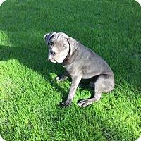 Adopt A Pet :: Zitto - Phoenix, AZ