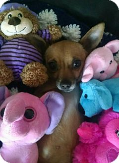 Chihuahua Mix Dog for adoption in San Diego, California - Josie