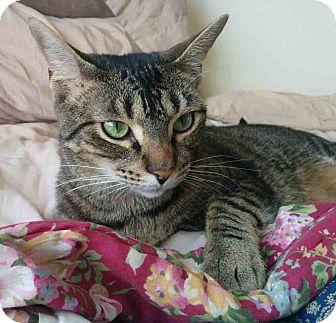 Domestic Shorthair Cat for adoption in Gaithersburg, Maryland - Felix
