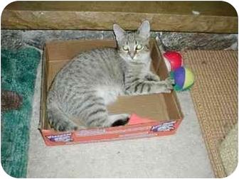 Domestic Shorthair Cat for adoption in Toronto, Ontario - Fudge