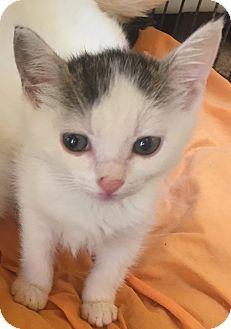 Domestic Shorthair Kitten for adoption in Encinitas, California - Candy