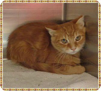 Domestic Shorthair Cat for adoption in Marietta, Georgia - BRAXTON (R)