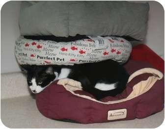 Domestic Shorthair Cat for adoption in Cincinnati, Ohio - Skeffington