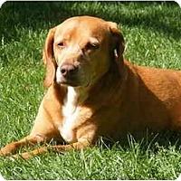 Adopt A Pet :: Roux - Toronto/Etobicoke/GTA, ON