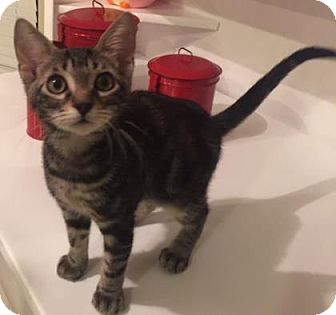 Domestic Shorthair Kitten for adoption in Bulverde, Texas - Indy