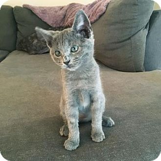 Domestic Shorthair Kitten for adoption in Austin, Texas - Charlie
