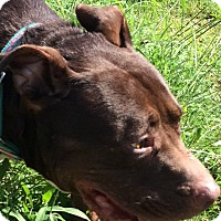 Pit Bull Terrier Mix Dog for adoption in Albemarle, North Carolina - Journey
