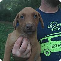 Vizsla/Shepherd (Unknown Type) Mix Puppy for adoption in Glastonbury, Connecticut - Ferris Bueller