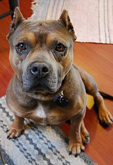 American Staffordshire Terrier/English Bulldog Mix Dog for adoption in Los Angeles, California - Morty
