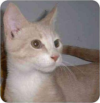 Domestic Shorthair Cat for adoption in Stuarts Draft, Virginia - Ozzie