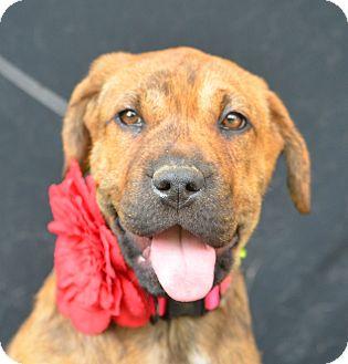 Mastiff Mix Puppy for adoption in Plano, Texas - Lovebug