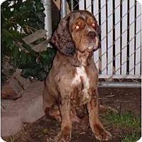 Adopt A Pet :: Rusty - Tacoma, WA
