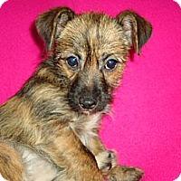 Adopt A Pet :: Tabby - P, ME