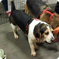Beagle Mix Dog for adoption in Alexis, North Carolina - Sandy