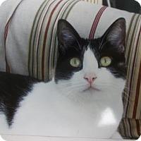 Domestic Shorthair Cat for adoption in Newton, Kansas - Oreo