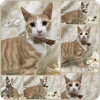 Domestic Shorthair Kitten for adoption in Joliet, Illinois - Cobra