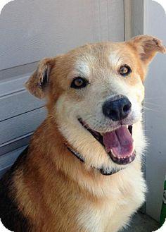 Shepherd (Unknown Type)/Labrador Retriever Mix Dog for adoption in Corbin, Kentucky - Jake