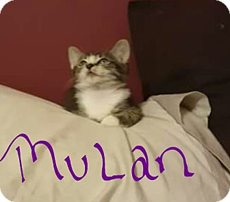 Domestic Shorthair Kitten for adoption in Lighthouse Point, Florida - Mulan