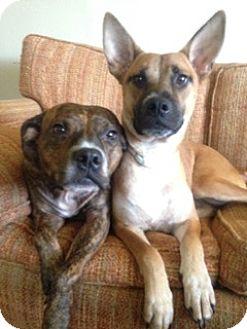 Sheltie, Shetland Sheepdog/Corgi Mix Dog for adoption in PARSIPPANY, New Jersey - MADISON